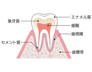 ホワイトニング説明(歯の構造)